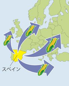 コロンブスがアメリカ大陸へ渡りヨーロッパへ持ち帰って以来急速に広まりました